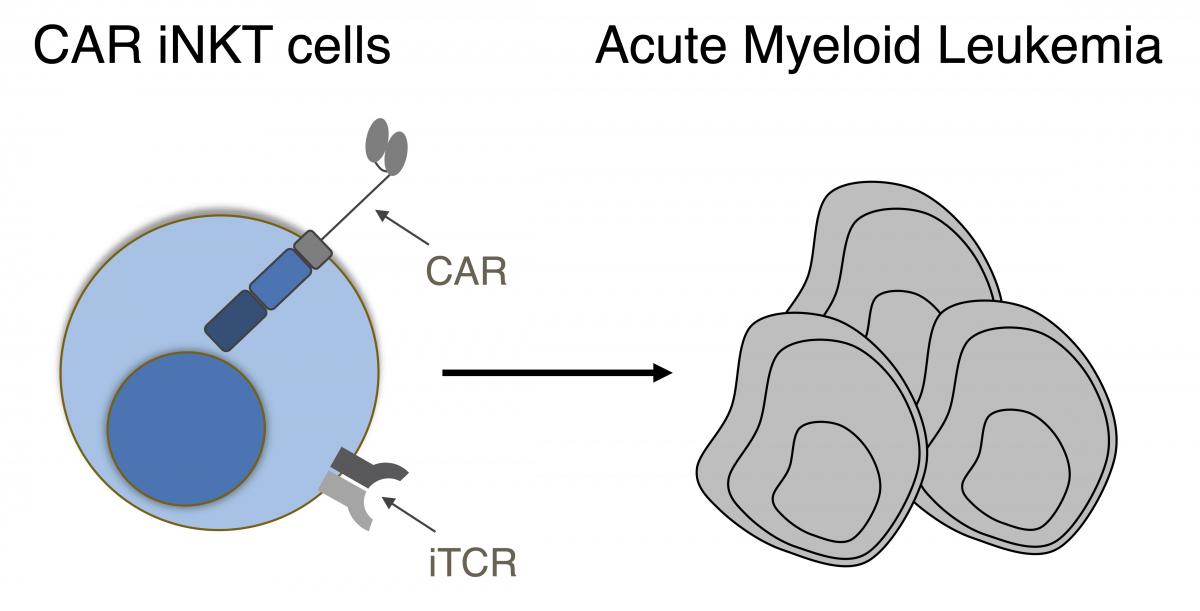 allogeneic-universal-chimeric-antigen-receptor-car-invariant-natural-killer-t-inkt-cells-against-acute-myeloid-leukemia