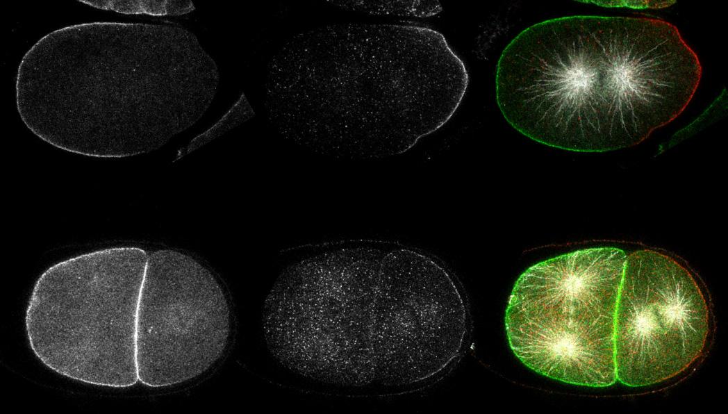 asymmetric-cell-division