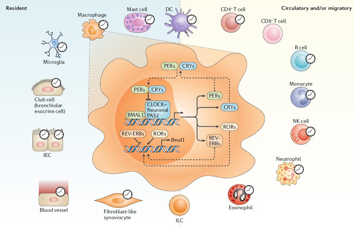 circadian-control-immune-system