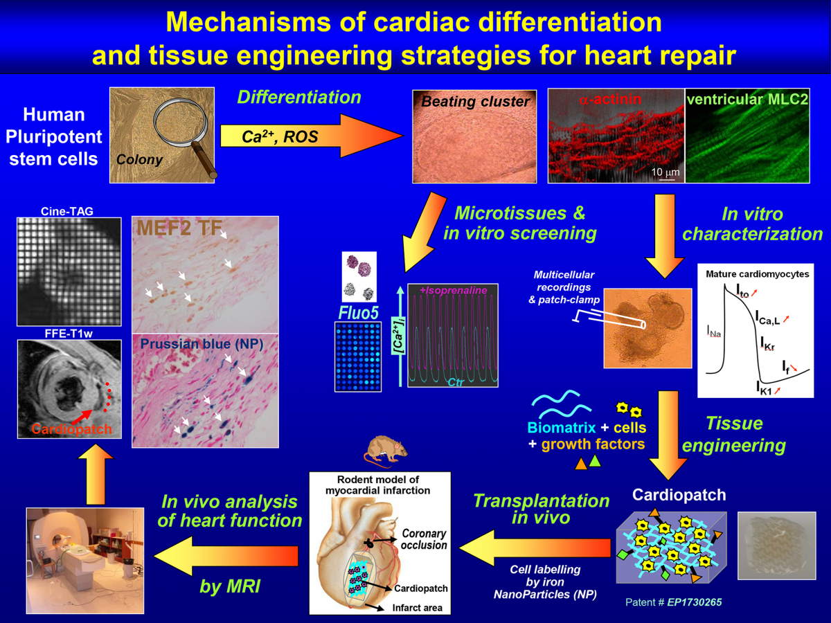 cardiogenesis-of-human-pluripotent-stem-cells-and-strategies-of-cell-therapy