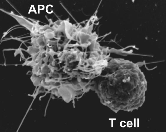 molecular-and-cellular-immunology