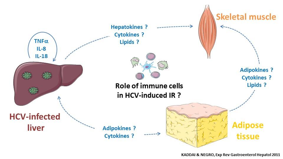 physiopathology-hepatitis-c-virus-induced-insulin-resistance