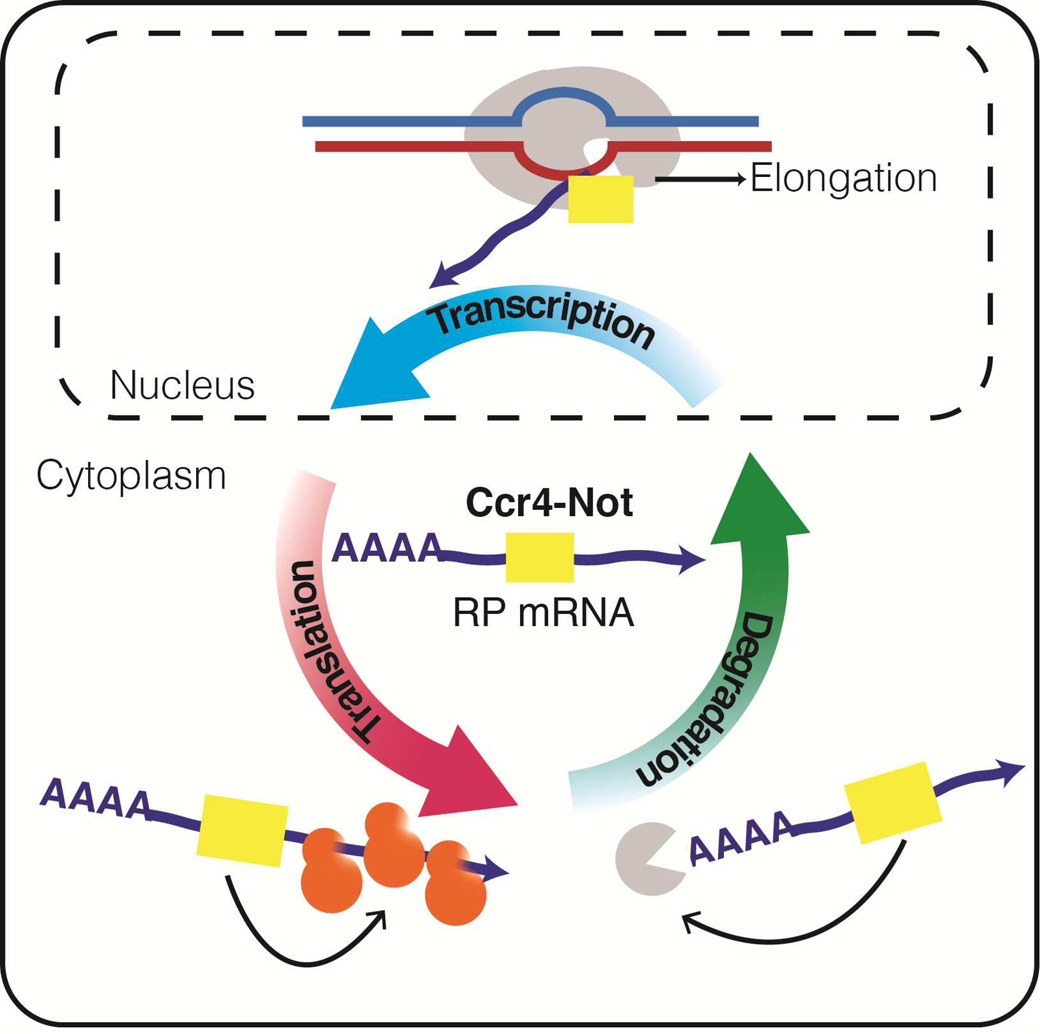regulation-of-gene-expression-by-the-ccr4-not-complex