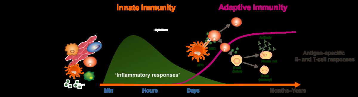 role-innate-immunity-vaccine-response